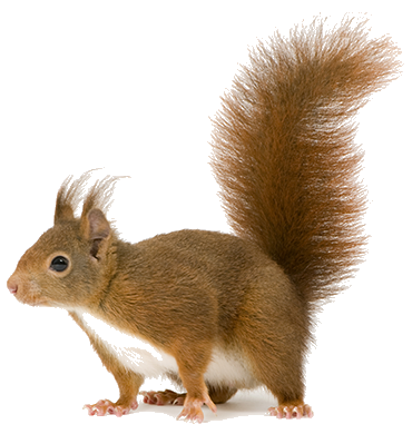 Squirrel-like rodent
